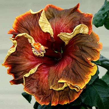 hibiscus-voodoo-magic-foto-2864