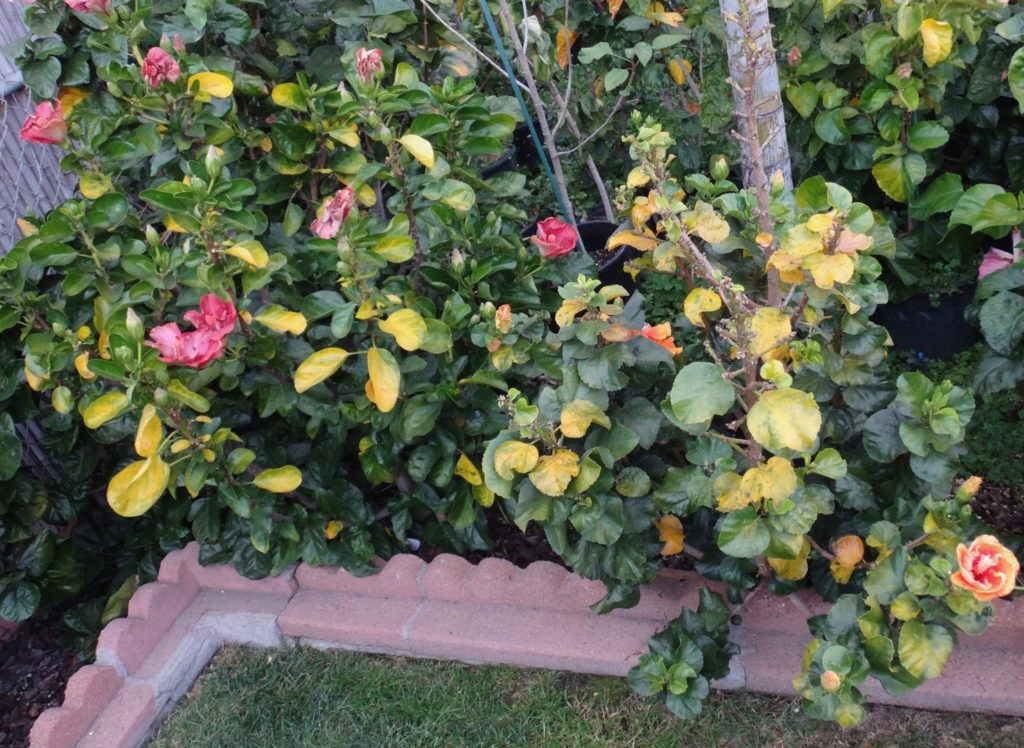 The Golden Rule – Southern California Hibiscus Society