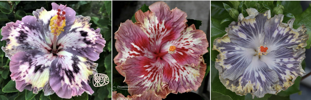 Welcome – Southern California Hibiscus Society