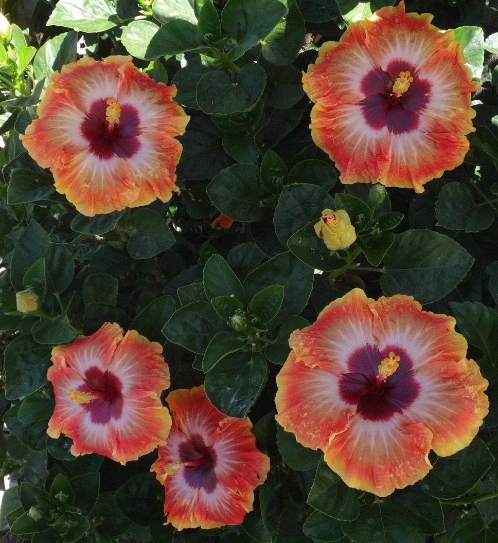 Pro Grower's Tips – Southern California Hibiscus Society