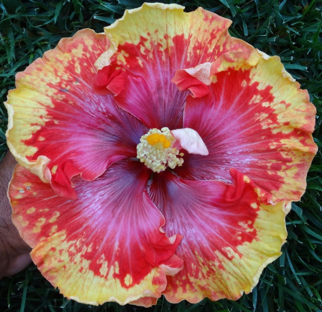 Propagation Southern California Hibiscus Society